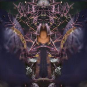 Continus - Smoke Tree